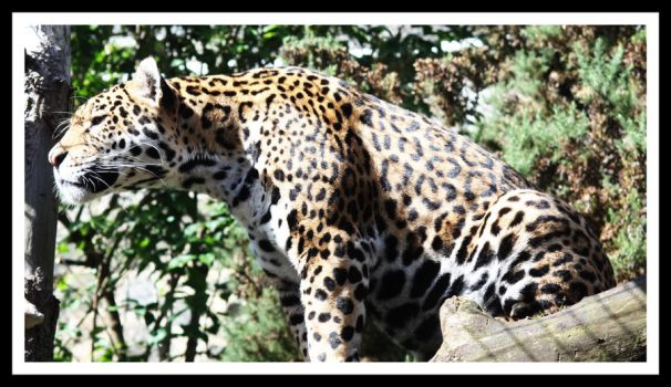 Amur Leopard 2 by Littlegothickitty