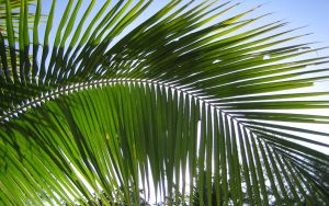 Palm Leaves by Michel8170