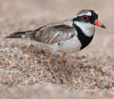 Black-fronted Dotterel by 88-Lawstock