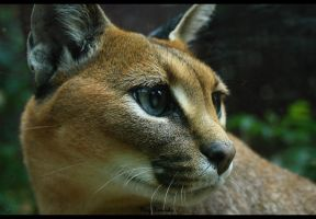 Caracal by lazureblood