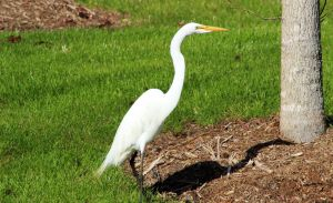 White Heron by winterface