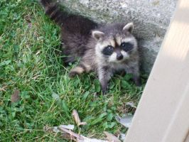 Baby Raccoons by WeisseEdelweiss