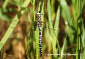 Migrant Hawker. by AdrianDunk