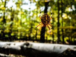 Golden Orb Weaver by praline815