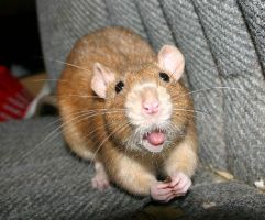 Cheeky Rat by Witherwings7