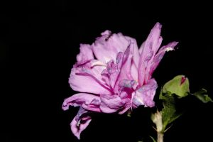 Hibiscus by RobertaBohns