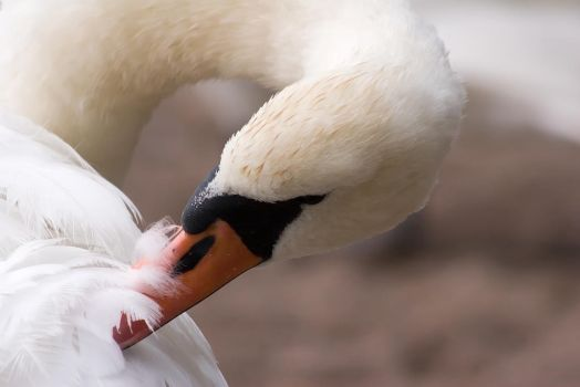 Swan fluff adjusting by TomiTapio