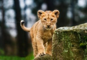 The Lion King by PictureByPali