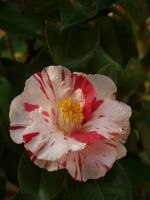 Variegated Camellia Stock 08 by botanystock