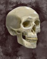 Human Skull Digital Painting by Mathieustern