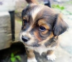 Puppy by CaBo-Serbia