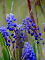 Grape Hyacinth by MadGardens