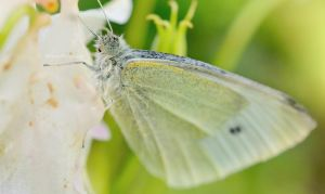 Cabbage White by EHilsdonPhotography