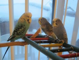 Budgie Trio 2 by Windthin