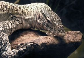 Nile Monitor Stock by TalkStock