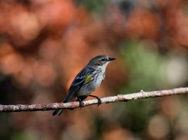 Yellow-rumped Warbler by Hobgoblin666