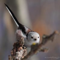 Long-tailed Tit II by HoremWeb