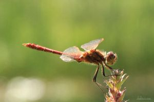 Dragonfly II by Youmitori