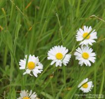 Daisies! by Fireproofed