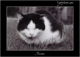Tristan- Cat Portrait - 3 of 4 by Renilicious