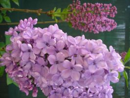 Lilacs by phasai