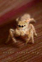 May jumping spider by otas32