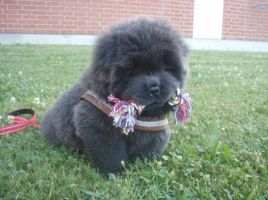 Chow chow called Kuro by Nauku