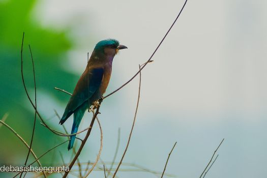 Indian Roller by DebasishPhotos