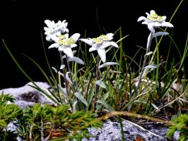 Edelweiss for my friends by edelweiss26