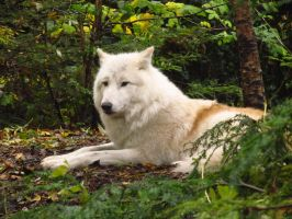 Arctic Wolf 2 by xCrystals