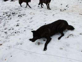 Black Wolf lying Awakardly Stock by AngelSTOCK22