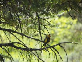 Western Tanager by Synaptica