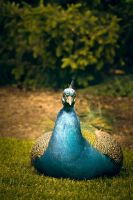 Peacock by Gingerspine
