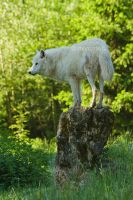 White wolf III by moem-photography