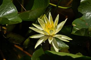 Water lily by Ariel1707