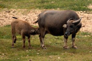 Buffalo feeding time - Guilin by wildplaces