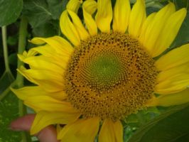 Sunflower by Evanescent-beauty