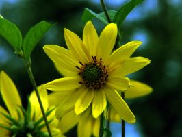 Yellow Flower by fotofox17