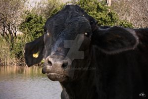 South Texas Cattle 4 by DleeKirby