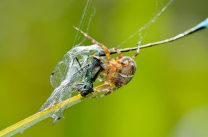 Spider eating a damselfly by Lydiie