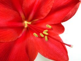 up close amaryllis by hummingbbird