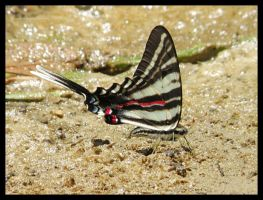 Zebra Swallowtail by Cillana