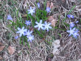 blue stars by crazygardener
