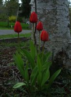 Red Tulips by McDonkm