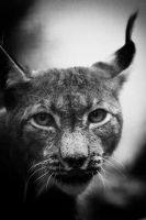 Lynx by The-Aperture