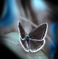 Chocolate Butterfly Blue by Callu