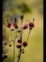 Red Aquilegia by GMCPhotographics
