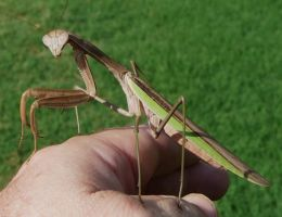 Mantid...female.. by duggiehoo