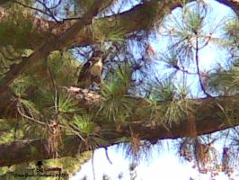 Red Tail Falcon by CZProductions