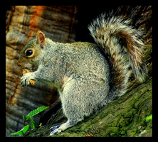 Grey Squirrel by Leeuwtje